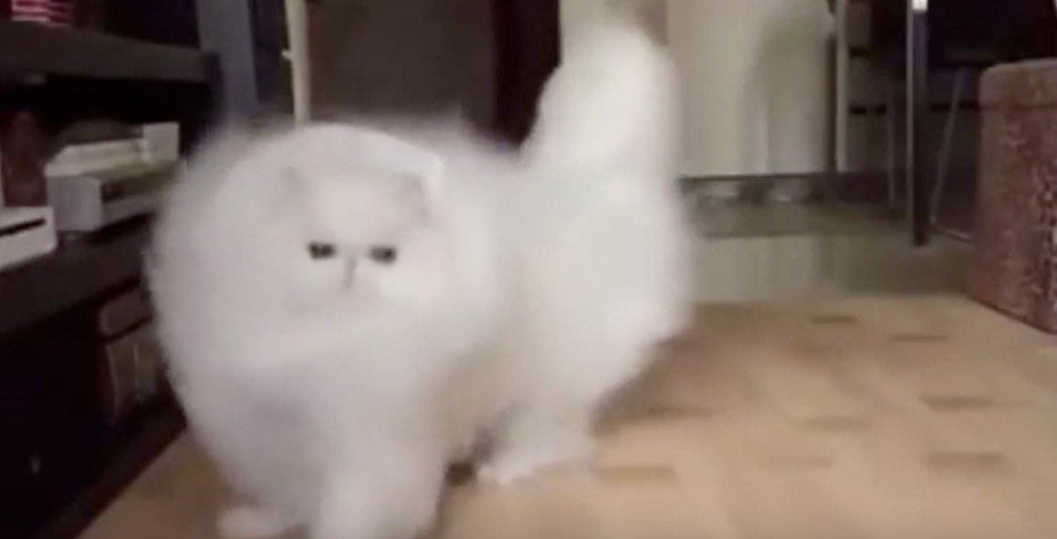 cat slow motion white cotton ball blur fluffy white cat in slow motion is awesome breaded cats