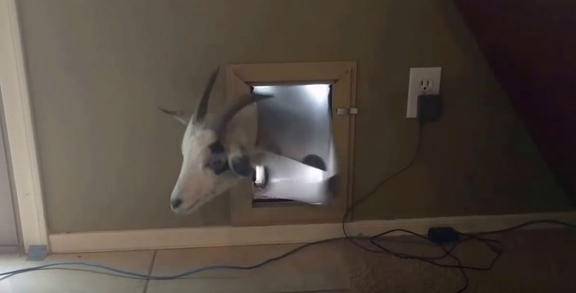 Goat Manages To Fit Through A Small Cat Door & Goat Manages To Fit Through A Small Cat Door - Breaded Cats Pezcame.Com