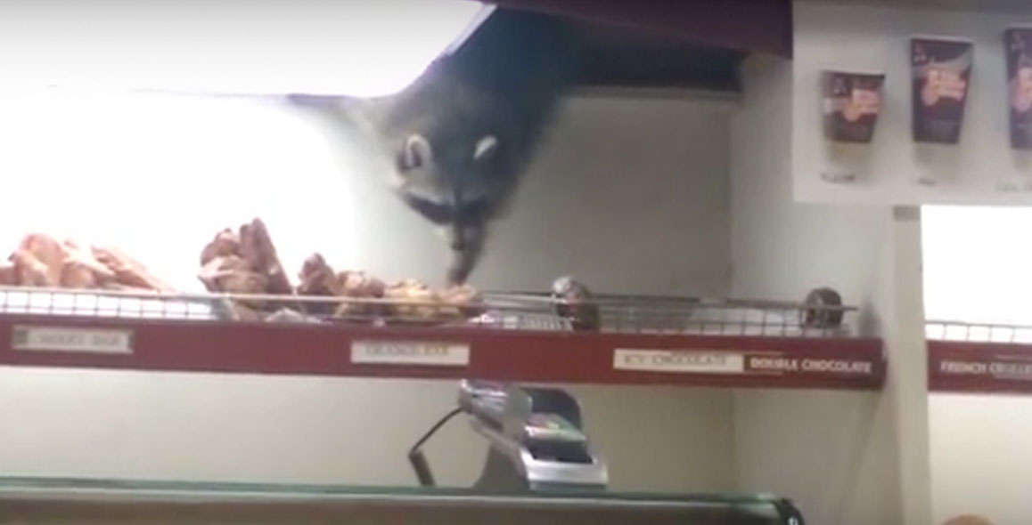 Sneaky Raccoon Steals Donut Breaded Cats