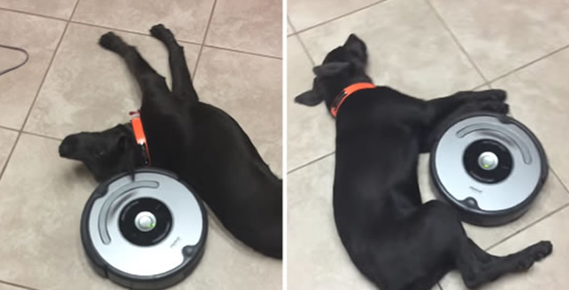 Lazy Dog Doesn't Care About The Roomba